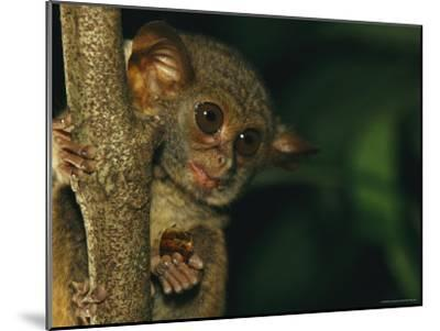 A Tarsier Eating an Insect in a Tree-Tim Laman-Mounted Photographic Print