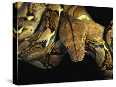 A Reticulated Python Wound Around a Tree Branch-Tim Laman-Stretched Canvas Print