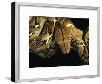 A Reticulated Python Wound Around a Tree Branch-Tim Laman-Framed Photographic Print