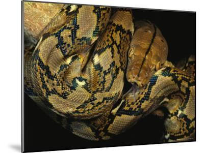 A Reticulated Python Wound Around a Tree Branch-Tim Laman-Mounted Photographic Print