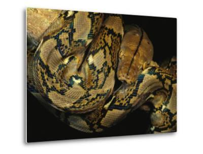 A Reticulated Python Wound Around a Tree Branch-Tim Laman-Metal Print