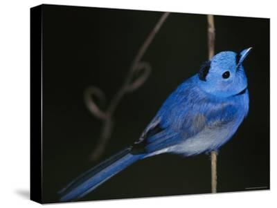 A Black-Naped Blue Monarch Flycatcher Perched on a Twig-Tim Laman-Stretched Canvas Print