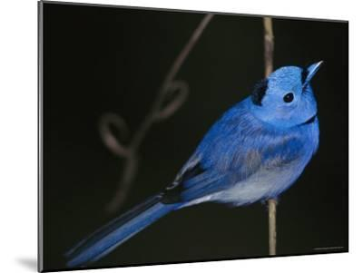 A Black-Naped Blue Monarch Flycatcher Perched on a Twig-Tim Laman-Mounted Photographic Print