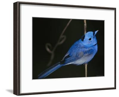 A Black-Naped Blue Monarch Flycatcher Perched on a Twig-Tim Laman-Framed Photographic Print