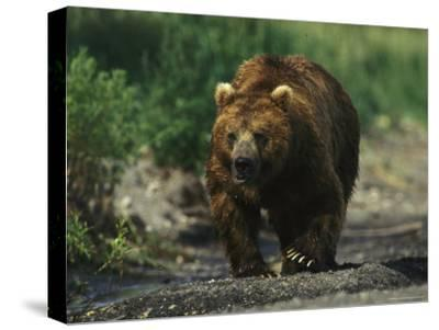 A Brown Bear Ambling Along a Shore-Klaus Nigge-Stretched Canvas Print