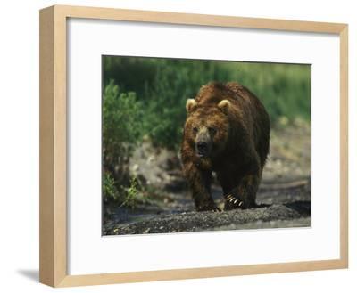 A Brown Bear Ambling Along a Shore-Klaus Nigge-Framed Photographic Print