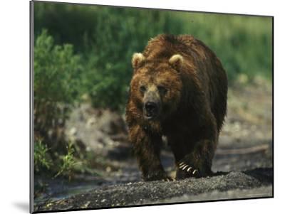 A Brown Bear Ambling Along a Shore-Klaus Nigge-Mounted Photographic Print