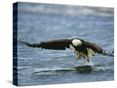 An American Bald Eagle Lunges Toward its Prey Below the Water--Stretched Canvas Print