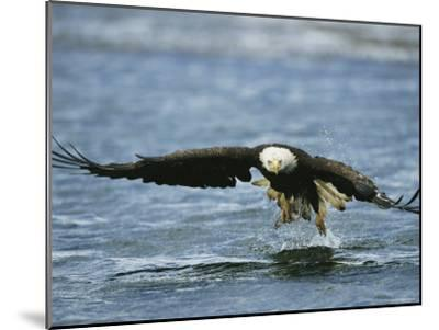An American Bald Eagle Lunges Toward its Prey Below the Water--Mounted Photographic Print