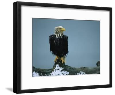 A Wet American Bald Eagle Perches on a Tree Branch-Klaus Nigge-Framed Photographic Print
