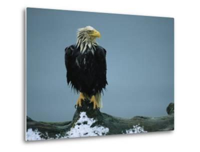 A Wet American Bald Eagle Perches on a Tree Branch-Klaus Nigge-Metal Print