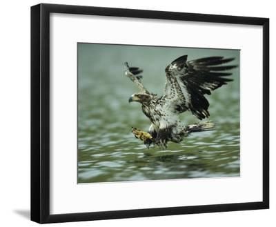 A Juvenile American Bald Eagle in Flight over Water Hunting for Fish-Klaus Nigge-Framed Photographic Print