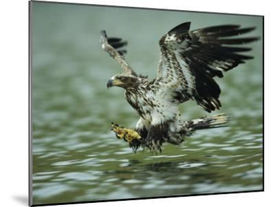 A Juvenile American Bald Eagle in Flight over Water Hunting for Fish-Klaus Nigge-Mounted Photographic Print