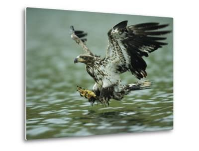 A Juvenile American Bald Eagle in Flight over Water Hunting for Fish-Klaus Nigge-Metal Print