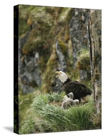 An American Bald Eagle and Chicks in Their Clifftop Nest-Klaus Nigge-Stretched Canvas Print