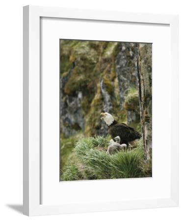 An American Bald Eagle and Chicks in Their Clifftop Nest-Klaus Nigge-Framed Photographic Print
