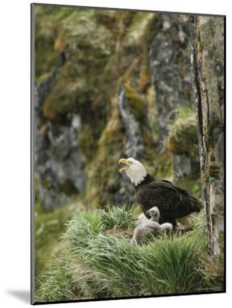 An American Bald Eagle and Chicks in Their Clifftop Nest-Klaus Nigge-Mounted Photographic Print