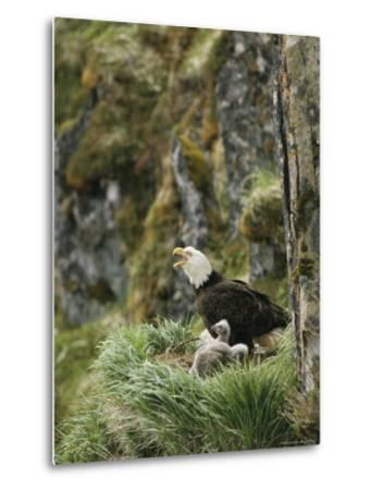 An American Bald Eagle and Chicks in Their Clifftop Nest-Klaus Nigge-Metal Print