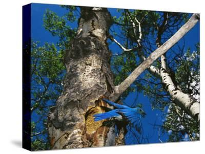 Bluebird Flies from its Nest in a Vacated Northern Flicker Hole-Michael S^ Quinton-Stretched Canvas Print