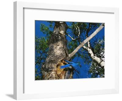 Bluebird Flies from its Nest in a Vacated Northern Flicker Hole-Michael S^ Quinton-Framed Photographic Print