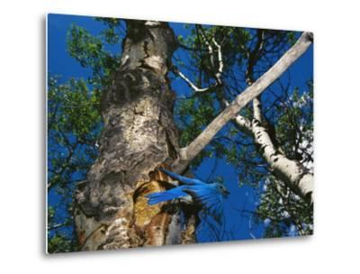 Bluebird Flies from its Nest in a Vacated Northern Flicker Hole-Michael S^ Quinton-Metal Print