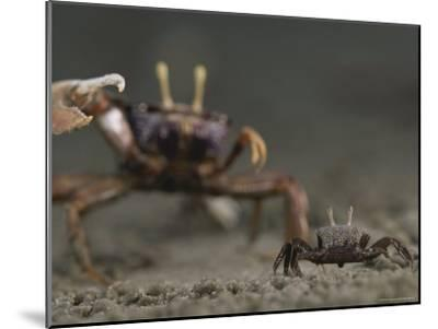 Pincer Claw of a Full-Size Ghost Crab Moves toward a Juvenile Crab-Michael Nichols-Mounted Photographic Print