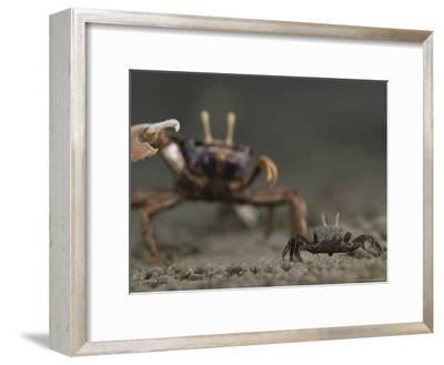 Pincer Claw of a Full-Size Ghost Crab Moves toward a Juvenile Crab-Michael Nichols-Framed Photographic Print