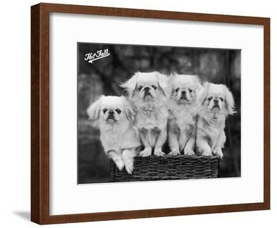 """Group of Four """"White"""" Pekingese Puppies in a Basket Owned by Stewart--Framed Premium Photographic Print"""