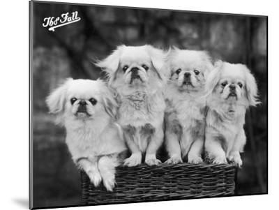 """Group of Four """"White"""" Pekingese Puppies in a Basket Owned by Stewart--Mounted Premium Photographic Print"""