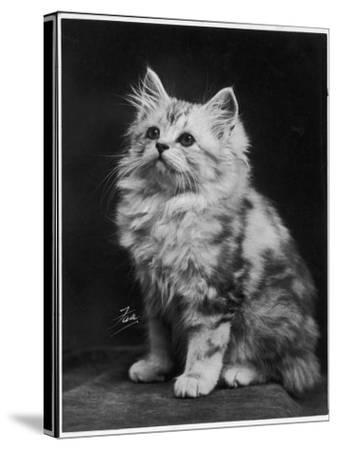 An Adorable Fluffy Kitten Looks up at Its Owner--Stretched Canvas Print