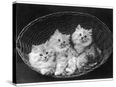 These Three Adorable Chinchilla Kittens Sit Together in an Up- Turned Basket--Stretched Canvas Print