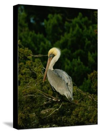 Brown Pelican on Tiger Island in Cumberland Sound-Raymond Gehman-Stretched Canvas Print