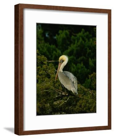 Brown Pelican on Tiger Island in Cumberland Sound-Raymond Gehman-Framed Photographic Print