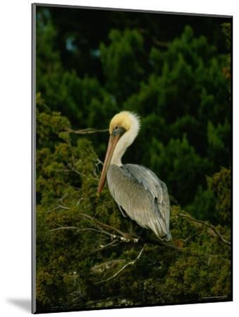 Brown Pelican on Tiger Island in Cumberland Sound-Raymond Gehman-Mounted Photographic Print