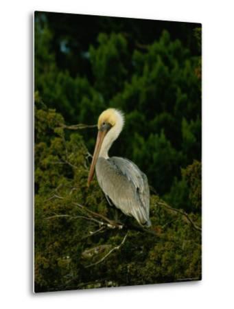 Brown Pelican on Tiger Island in Cumberland Sound-Raymond Gehman-Metal Print