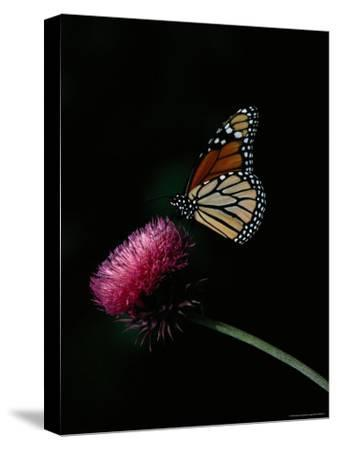Monarch Butterfly on a Nodding Thistle Flower-Bates Littlehales-Stretched Canvas Print
