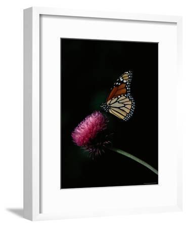 Monarch Butterfly on a Nodding Thistle Flower-Bates Littlehales-Framed Photographic Print