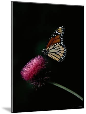 Monarch Butterfly on a Nodding Thistle Flower-Bates Littlehales-Mounted Photographic Print