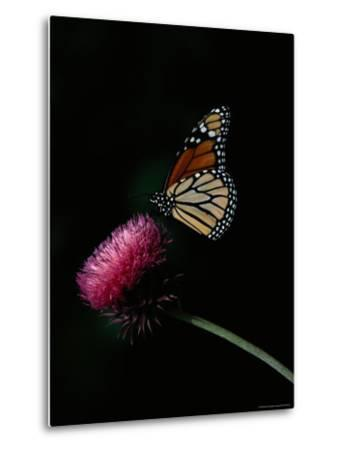 Monarch Butterfly on a Nodding Thistle Flower-Bates Littlehales-Metal Print