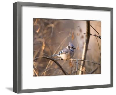 A Blue Jay (Cyanocitta Cristata) Sits in a Tangle of Tree Branches-Joel Sartore-Framed Photographic Print