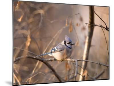 A Blue Jay (Cyanocitta Cristata) Sits in a Tangle of Tree Branches-Joel Sartore-Mounted Photographic Print