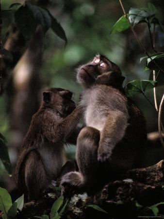 A Long-Tailed Macaque Removing Parasites from Another Monkey-Mattias Klum-Framed Photographic Print