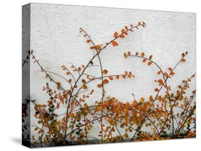Orange Leaves against White Danish Wall, Denmark--Stretched Canvas Print