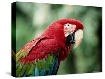 A Portrait of a Captive Red and Green Macaw--Stretched Canvas Print