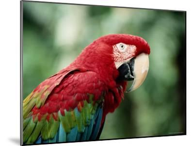 A Portrait of a Captive Red and Green Macaw--Mounted Photographic Print