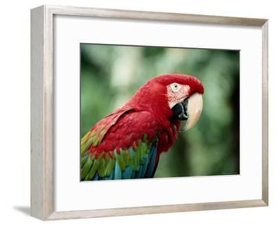 A Portrait of a Captive Red and Green Macaw--Framed Photographic Print