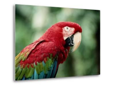 A Portrait of a Captive Red and Green Macaw--Metal Print