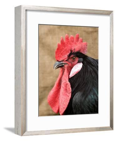A Minorca Rooster is Pictured in Front of a Burlap Background-Joel Sartore-Framed Photographic Print