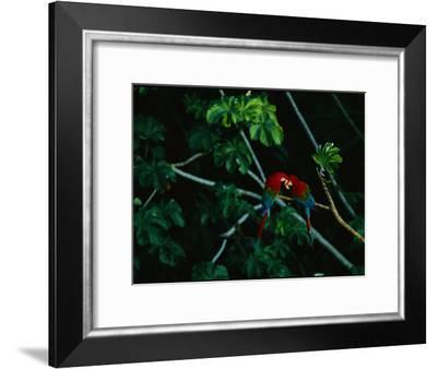 A Mated Pair of Red-And-Green Macaws Exhibit Bonding Behavior-Joel Sartore-Framed Photographic Print