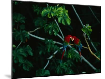 A Mated Pair of Red-And-Green Macaws Exhibit Bonding Behavior-Joel Sartore-Mounted Photographic Print